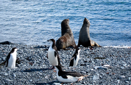 Two fur seals behind some penguins.