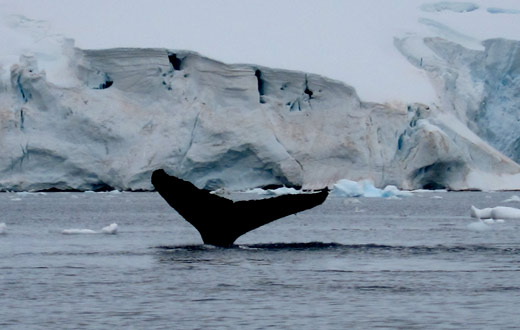 A diving humback whale.