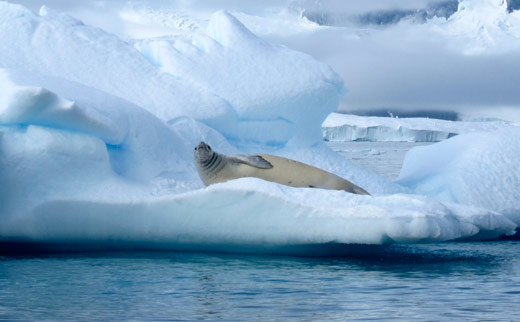A crabeater seal.