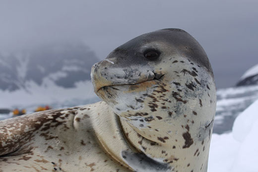 A creepy leopard seal smiling for the camera.