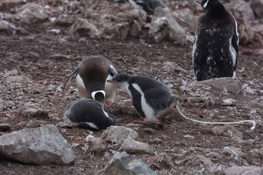 A penguin chick projectile-pooing.
