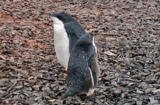 Molting penguin chicks.