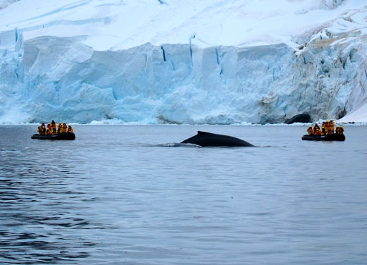 A humpback whale between two zodiacs.