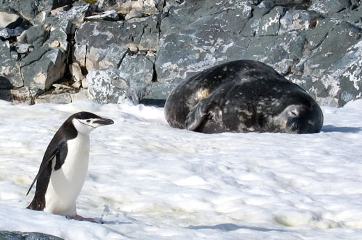 A chinstrap penguin and a weddell seal.