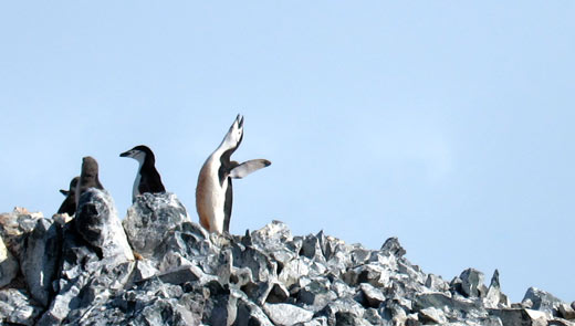 A chinstrap penguin on top of a hill.