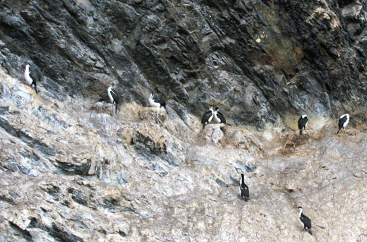 Cormorants nesting in a cliff.