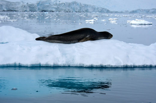 A leopard seal lounging on an iceberg.