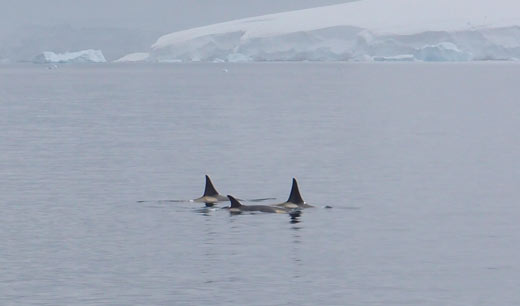 A pod of killer whales.