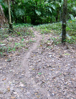 A leaf cutter ant trail.