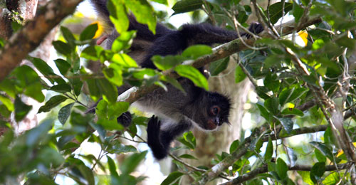 A spider monkey above our tents in Tikal.