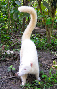 A white coatimundi at the Belize Zoo.