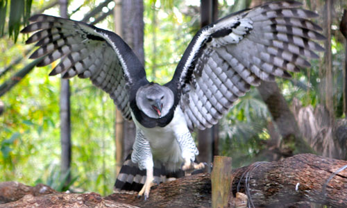 A harpy eagle with spread wings.
