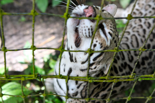 An ocelot rubs up against the chainlink fence.