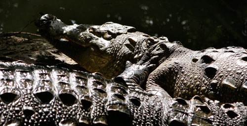 Two crocodiles rest in the sunshine.