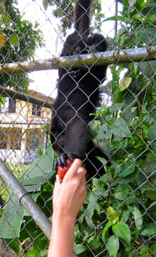Jessica feeding an apple to the howlery monkey at Mayan Wells.