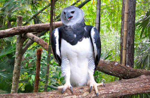 A harpy eagle perced on a log at the Belize zoo.