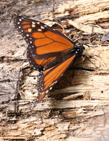 A monarch butterfly on a tree.