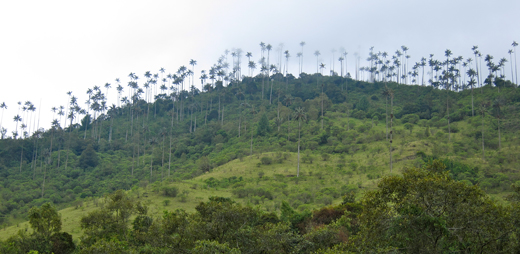 A hill lined with tall wax palms.