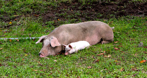 A pig and piglet taking a nap.