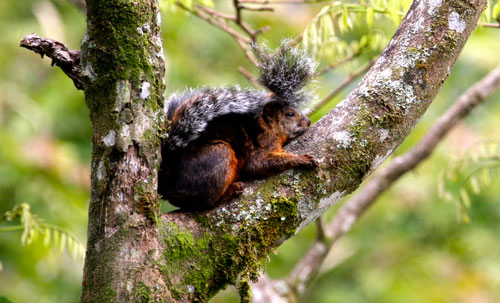 A squirrel taking a nap in a tree.