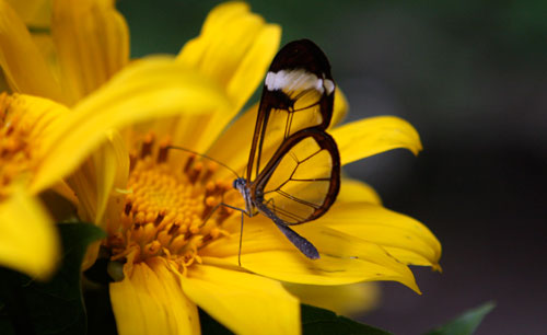 A glass-wing butterfly on a yellow flower.