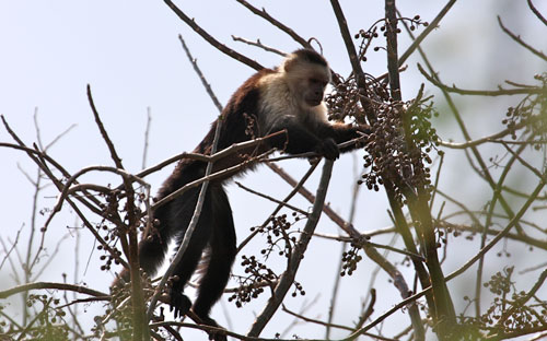 A white faced capuchan monkey.