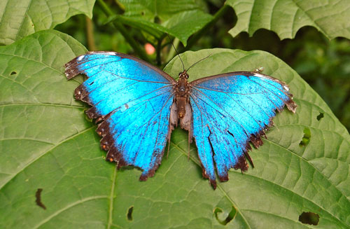A blue morpho butterfly resting on a leaf.