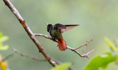 A hummingbird stretches its wings.