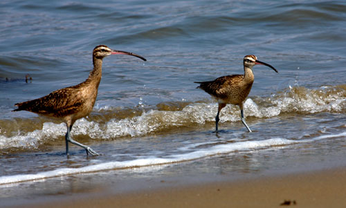 A couple of snipe-like birds in the sand.