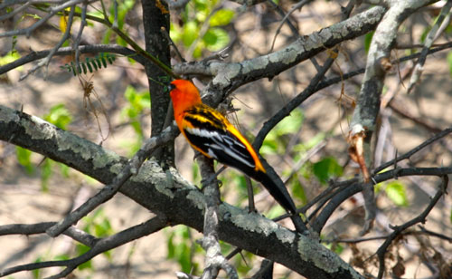 An oriole sitting in a tree.