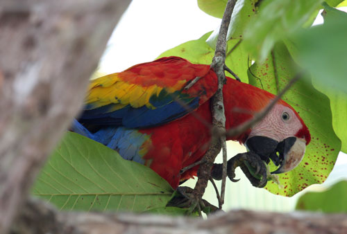 A scarlet macaw eating an almond.