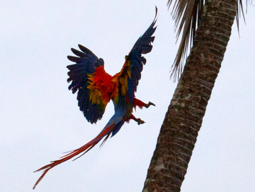 A macaw about to land on a palm tree.