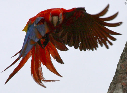 A macaw in flight giving us the evil eye.