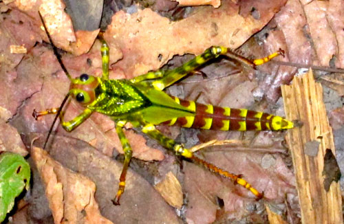 A gigantic techi-color grasshopper from the jungle.