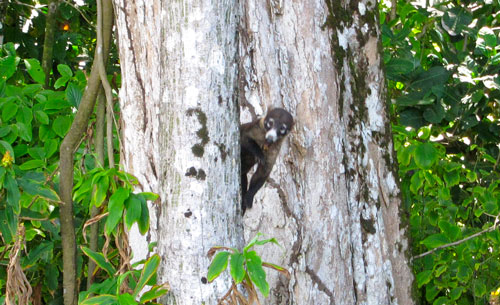 A coati drops in for lunch.