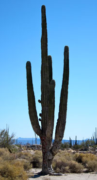 A big ol' cactus in Baja California.