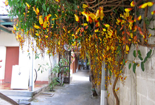 The flowers dangling outside out room at San Pedro.