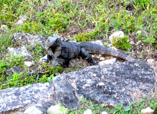 The first iguana we've seen on this trip in Palenque.