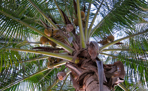 Coconuts poised to fall on our campsite.