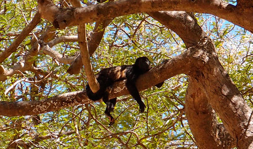 A very hot howler monkey resting in the trees above our campsite.