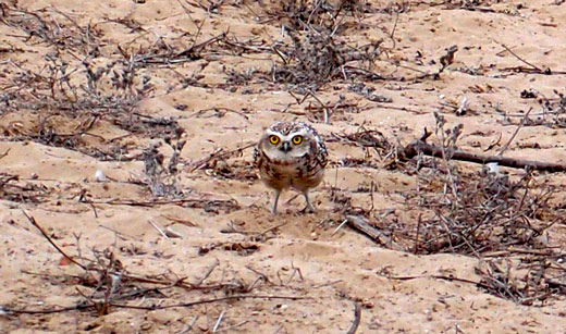 One of many ground-dwelling owls we saw.