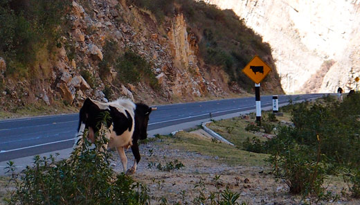 Cows in the road on the way to Cusco.