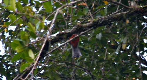 Our first sighting - the backside of a quetzal.
