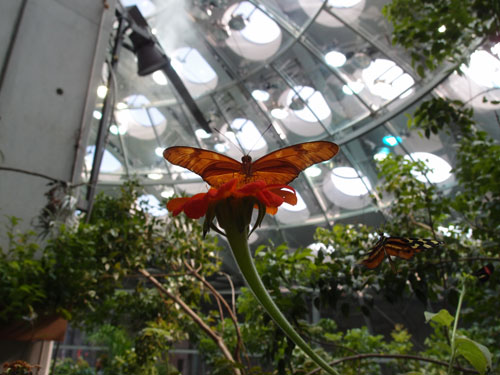 A butterfly in California Academy of Sciences.