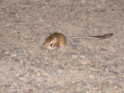 A kangaroo rat in our campground.